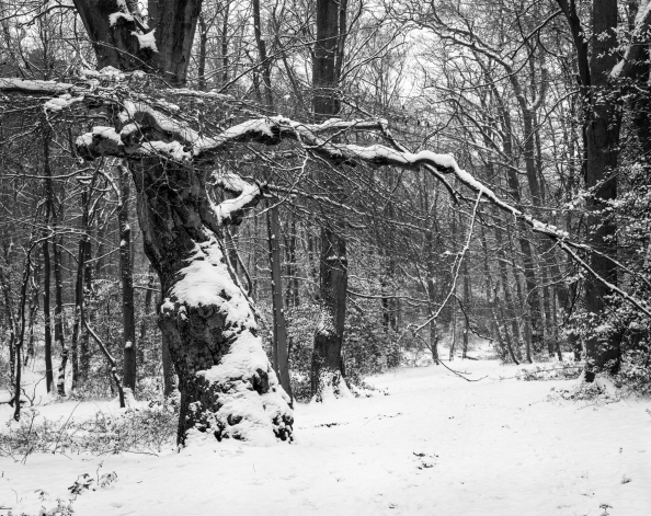 Pollarded tree alongside path to Middle Pond, Burnham Beeches January 2013